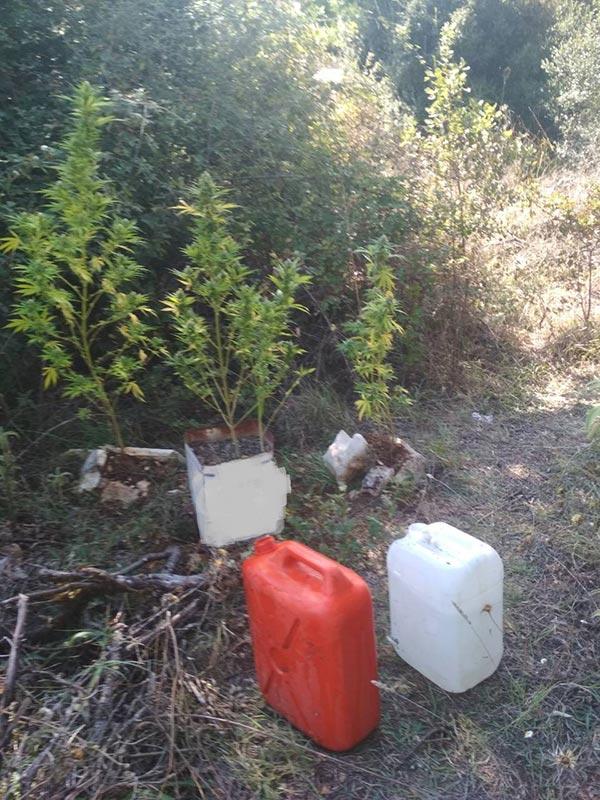 Γιάννενα: Τους συνέλαβαν την ώρα που φρόντιζαν δέκα χασισόδεντρα!